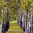 Stock Photo: White birch trees