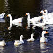 White ducks on the pond - Stock Photo