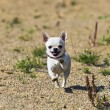 Stock Photo: Chihuahuhaving happy times on sunny day