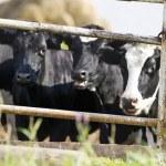 Cows on the farm — Stock Photo
