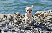 Chihuahua runnig near river on a sunny day — Stock Photo