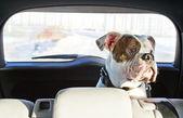 Chien dans la voiture — Photo