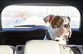 Dog in the car — Stockfoto