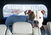 American bulldog travelling by car — Stock Photo