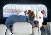 American bulldog travelling by car — Stock Photo