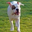 American bulldog playing with woodwn stick - Stock Photo