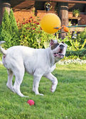 Dog playing on the lawn — Stock Photo