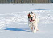 šťastný pes na zimní den — Stock fotografie