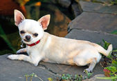 Chihuahua near pond — Stock Photo