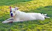 Relaxing dog on the grass — Stock Photo