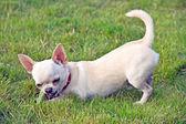 Perro comiendo pepino — Foto de Stock