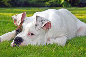 Dog lying on the grass — Stock Photo