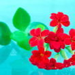 Red kalanchoe — Stock Photo
