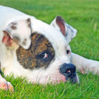 american bulldog — Stock Photo