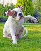 Hond zit en krassen zelf — Stockfoto