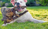 Dog playing with stub on the grass — Stock Photo