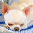 Sleeping tiny chihuahua — Foto Stock
