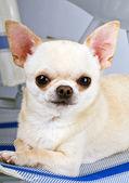 Portret mały pies — Zdjęcie stockowe