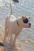 Spotted american bulldog having fun in water — Stock Photo