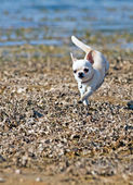 Small chihuahua running — Stock Photo