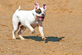 Running bulldog américain — Photo