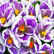 Stock Photo: Close up picture of violet flowers