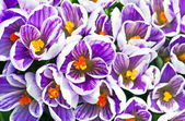 Close up picture of violet flowers — Stock Photo