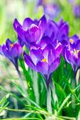 Mor bahar çiçekleri — Stok fotoğraf