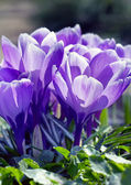 Purple nice crocuses — Stock Photo