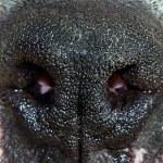 Dog's nose — Stock Photo
