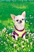 Chihuahua in clothes — Stock Photo
