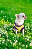 Small chihuahua — Stock Photo