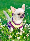 Lingua di cane visualizzando — Foto Stock