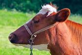 茶色のミルク牛 — ストック写真