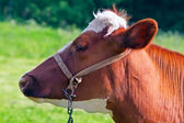 Mucca latte marrone — Foto Stock