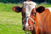 Cow loking at camera — Stock Photo