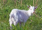 白ヤギ — ストック写真