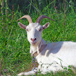 Stock Photo: Picture of white goat