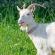 Stock Photo: Goat on a summer day
