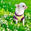 Small chihuahua — Stock Photo