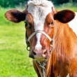 Stock Photo: Cow on a summer day