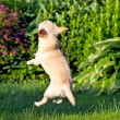 Stock Photo: Flying dog