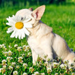 Stock Photo: Dog and camomile