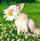 Dog and camomile — Stock Photo