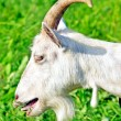 Stock Photo: White horned goat