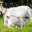Stock Photo: Goat mother and her baby