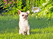 Chihuahua in park — Stock Photo