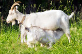 Goat mother and her baby — Stock Photo