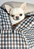 Chihuahua in bag — Stock Photo