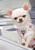şık köpek — Stok fotoğraf